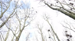 Flock of crows flying around nests in forest - bottom view Stock Footage