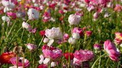4K Persian Buttercup Flowers 14 Stock Footage