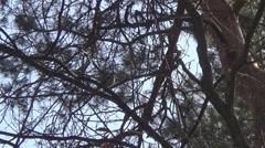 Mavis on a branch Stock Footage