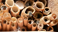 Two male wild bee Osmia bicornis on insect hotel. Stock Footage