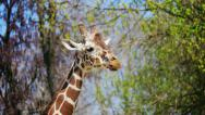 Stock Video Footage of Giraffe chewing, head close up