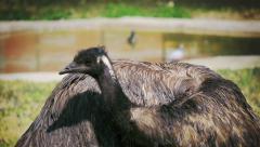 Emu bird cleaning its feathers, medium shot Stock Footage