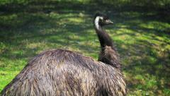Emu bird cleaning its feathers Stock Footage