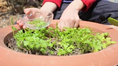 Hands picking parsley. Sunny. Stock Footage