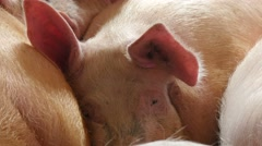 Pigs sleeping in the barn, 4k 7 Stock Footage