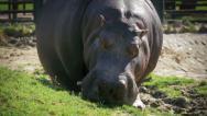 Stock Video Footage of Hippopotamus grazing, close up