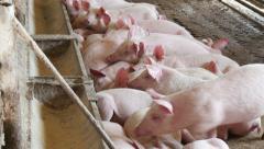Pigs sleeping in the barn, 4k 5 Stock Footage