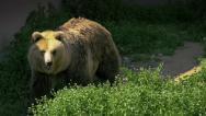Stock Video Footage of Brown bear walking