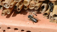 Wild bee Osmia bicornis on insect hotel. Stock Footage