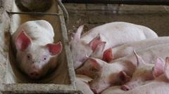 Pigs sleeping in the barn, 4k 4 Stock Footage