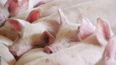 Pigs sleeping in the barn, 4k 3 Stock Footage