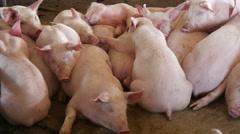 Pigs sleeping in the barn, 4k 2 Stock Footage