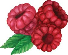 Watercolor vector. Three raspberries on a branch Stock Illustration