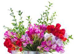 Freesia  flowers Stock Photos