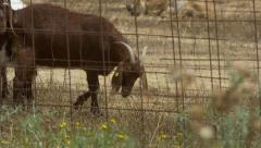 Goat eat grass Stock Footage