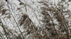 Grasses, rushes, waving in breeze by river, 4k, UHD - stock footage
