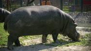 Stock Video Footage of Hippopotamus grazing