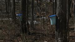 Sugar bush during maple syrup harvest season Stock Footage