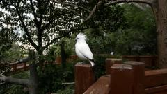 Bird shows some emotion fluffing up tuft, one more comes to camera Stock Footage