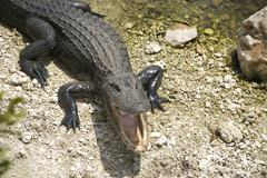 Florida alligator with open mouth - stock photo