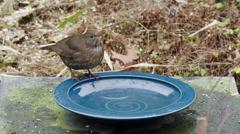Blackbird drinking winter garden Europe Stock Footage