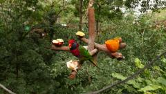 Moluccan king parrot on feeding rack with fruits Stock Footage