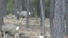 Winner of Buck Fight Goes Out to Confront A Smaller Buck - stock footage