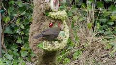 Blackbird eating nuts garden Europe Stock Footage