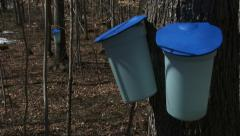 Buckets used to collect maple syrup - stock footage