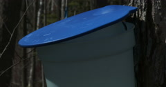 Bucket used to collect maple syrup - stock footage