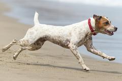 Stock Photo of Jack Russell Terrier Running At Full Sped On The Beach