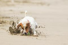 Stock Photo of Jack Russell Terrier Stopping On The Ball High Speed Action Shot
