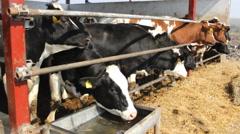 Animals Farm Cattle Cows and  Bulls farm straw - stock footage