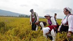 Rice manual harvesting manifestation Stock Footage