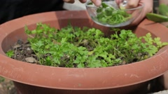 Close-Up Of Hand Picking Homegrown Herb - Plucking Fresh Parsley Stock Footage