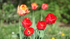 Beautiful tulip flowers in a city park Stock Footage