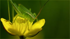 Small grasshopper on a yellow flower Stock Footage