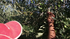 Stock Video Footage of woman with cap harvesting olive fruit with comb