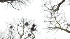 Crows fly and whirls near nests at the top of trees bottom view - fast motion Stock Footage