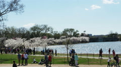 3355 Cherry Blossoms Trees with People Walking in Washington DC, 4K - stock footage