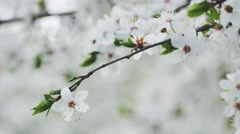Blooming white cherry branch, DoF Stock Footage