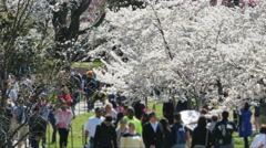 3356 Cherry Blossoms Trees with People Walking in Washington DC, 4K - stock footage