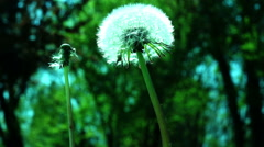 Close up Shot of a Translucent Dandelion Flower Head Stock Footage