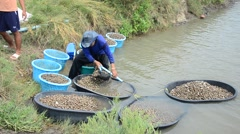 Thai people aquaculture cockle farm and catching for sale - stock footage