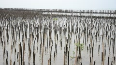Mangrove forest or Intertidal forest at Bangkhunthein in Bangkok Thailand. Stock Footage