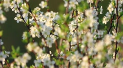 Blossoms on tree Stock Footage