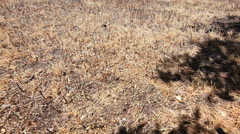 Drought dry dead grass lawn pan wide Stock Footage