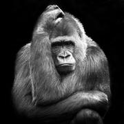 Portrait of an adult female gorilla on a black background, Netherlands Stock Photos