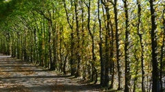 beech-lined road in fall - stock footage