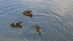 three ducks on the water, tranquil scene - stock footage